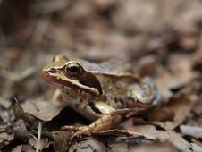 Free Common Frog Rana Temporaria Stock Photo - 9655830