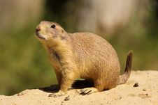 Free Prairie Dog Standing In The Sand Royalty Free Stock Image - 9655906