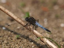 Free Broad-bodied Chaser Dragonfly Libellula Depressa Stock Images - 9655914