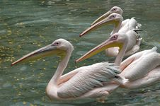 Pelicans In The Water Royalty Free Stock Image