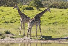 Free Two Giraffe Stock Photos - 9656033