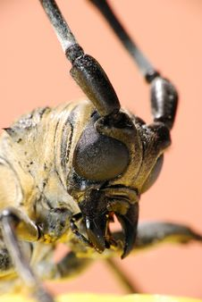 Free Macro Long-horned Beetle Royalty Free Stock Photos - 9656058