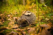 Free Hedgehog In Wood With Leaves On Prickles Royalty Free Stock Photography - 9656297