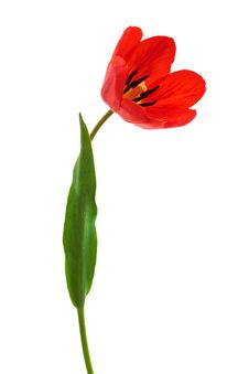 Free Red Tulip Royalty Free Stock Images - 9658289