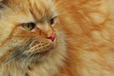 Free Red Foxy Cat Royalty Free Stock Images - 9658669
