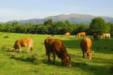 Free Cows Eat Fresh Grass Royalty Free Stock Photography - 9658687