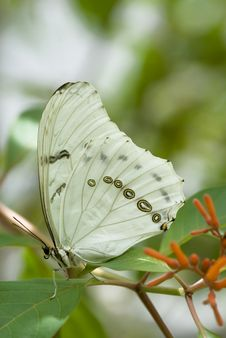 White Morpho Butterfly Stock Photos