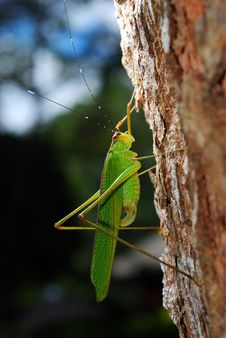 Free Grasshopper Stock Photography - 9659832
