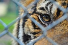 Free The Eyes Of Little Tiger Stock Photo - 96542600