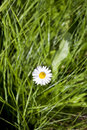Free Flower Of A Camomile With White Petals Stock Images - 9664334
