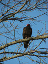Free Turkey Vulture Royalty Free Stock Images - 9668239