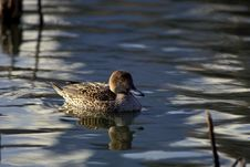 Duck Swims In Water Stock Images
