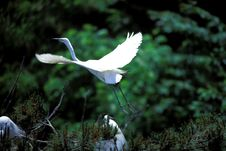 Free White Egret Land On Trees Royalty Free Stock Image - 9660556