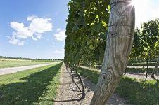 Free Grapes In A Vinyard Royalty Free Stock Photos - 9663698