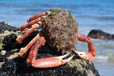Free Crab Royalty Free Stock Photos - 9663958