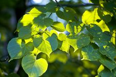 Free Green Leaves Of A Linden Royalty Free Stock Images - 9664279