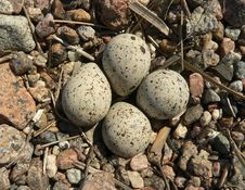 Free Nest Of A Plover Stock Image - 9664861