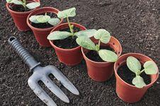 Free Vegetable Seedlings Growing In Pots Royalty Free Stock Photo - 9666625