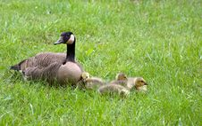 Mother Goose And Goslings Stock Photos