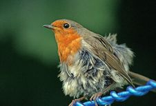 Free Fluffy Robin Royalty Free Stock Image - 9669666