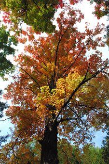 Orange/Red Maple Tree Stock Image