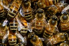 Free Bee, Honey Bee, Insect, Invertebrate Stock Photography - 96660362