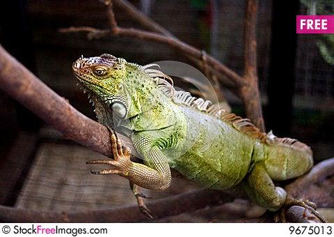 Free Green Iguana Stock Photos - 9675013