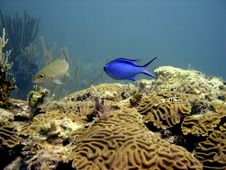 Free Blue Damselfish Royalty Free Stock Image - 9670006