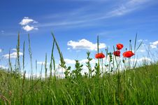 Free Poppies In Field Royalty Free Stock Photo - 9670735
