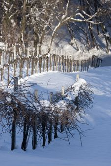 Free Winter Vineyards Stock Image - 9671031
