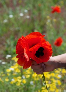 Free Red Poppy Stock Photography - 9672002