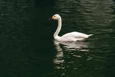 Free Swan Stock Images - 9673334