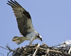 Free Osprey Royalty Free Stock Photography - 9674487