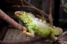 Free Green Iguana Stock Photos - 9675013
