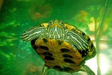 Free Green Turtle Stock Images - 9675654