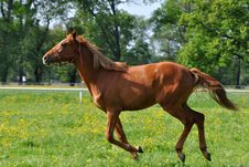 Free Chestnut Horse At A Gallop Stock Photography - 9676992