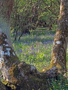 Free Bluebells (Scilla Non-scripta). Stock Photos - 9677543