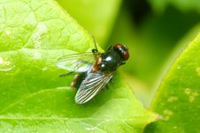 Free Red Eyed Fly On A Leaf Royalty Free Stock Images - 9677839