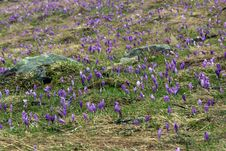 Crocuses Blooming In The Highland Royalty Free Stock Photography