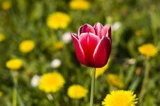 Free Bright Red Tulip Royalty Free Stock Photos - 9678488
