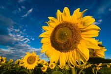 Free Gold Sunflowers On A Background Of The Blue Sky Stock Image - 9678711