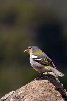 Free Chaffinch Portrait Stock Photography - 9678882