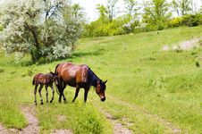 Wild Steppe Horses Royalty Free Stock Image