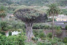 Free Icod De Los Vinos On Tenerife Stock Images - 9679744