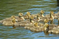 Free Goslings Swimming Royalty Free Stock Photos - 9679978