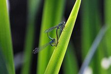 Free Dragon-Fly Couple Stock Images - 9679984