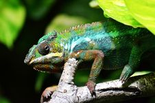 Free Reptile, Chameleon, Lizard, Scaled Reptile Royalty Free Stock Images - 96732889