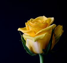Free Yellow, Flower, Rose, Rose Family Royalty Free Stock Photos - 96733798