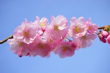 Free Flower, Blossom, Pink, Cherry Blossom Royalty Free Stock Images - 96735089
