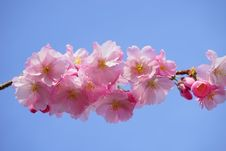 Free Flower, Blossom, Pink, Cherry Blossom Stock Image - 96735141